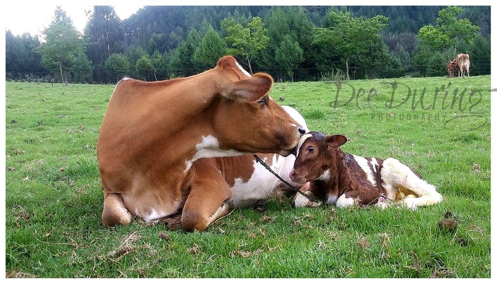 Cow-and-Calf-copy